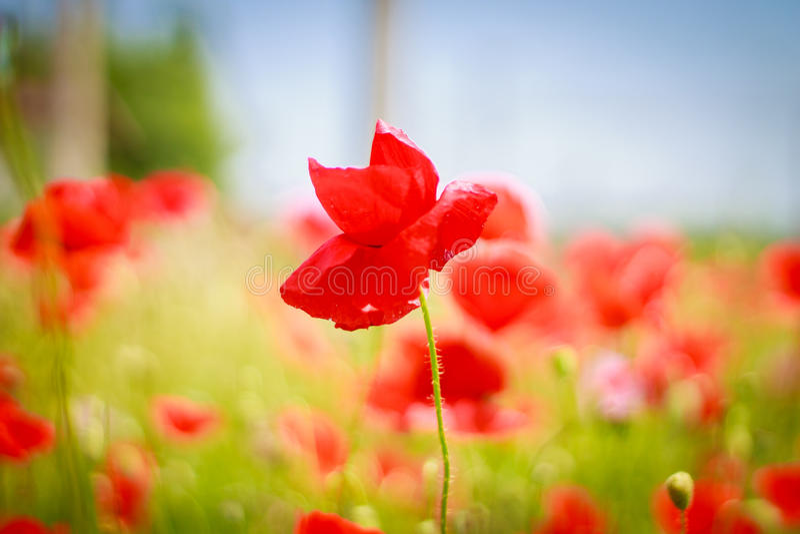 Rote Mohnblume auf einem Gebiet lizenzfreie stockfotos