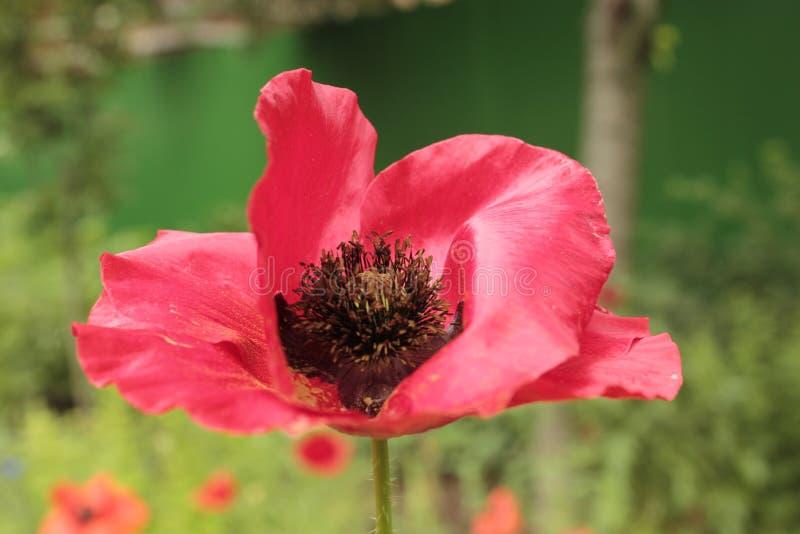 Rote Mohnblume auf einem Hintergrund ein grüner Garten lizenzfreies stockbild