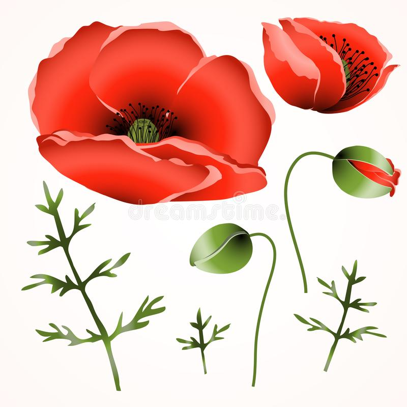 Rote Mohnblume blüht auf weißem Hintergrund, Herbarium stockfotos