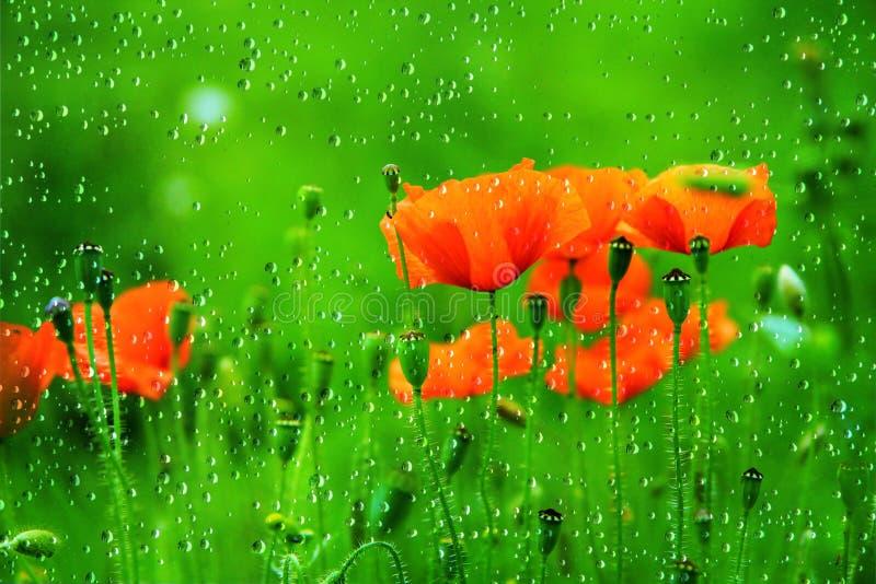 Rote Mohnblume-Blume lizenzfreie stockfotografie