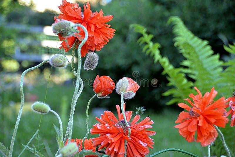 Rote Mohnblume des Gartens auf einem grünen Hintergrund lizenzfreie stockbilder