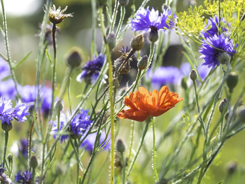 Rote Mohnblume, die Knöpfe des Junggesellen und eine Dillblume, die in einem Herbstgarten blüht stockfotos