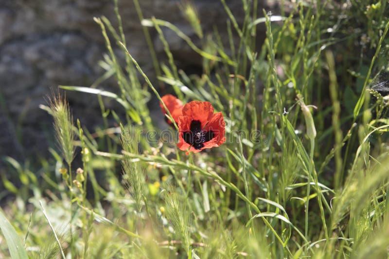 Rote Mohnblume im Gebirgsgras lizenzfreies stockfoto