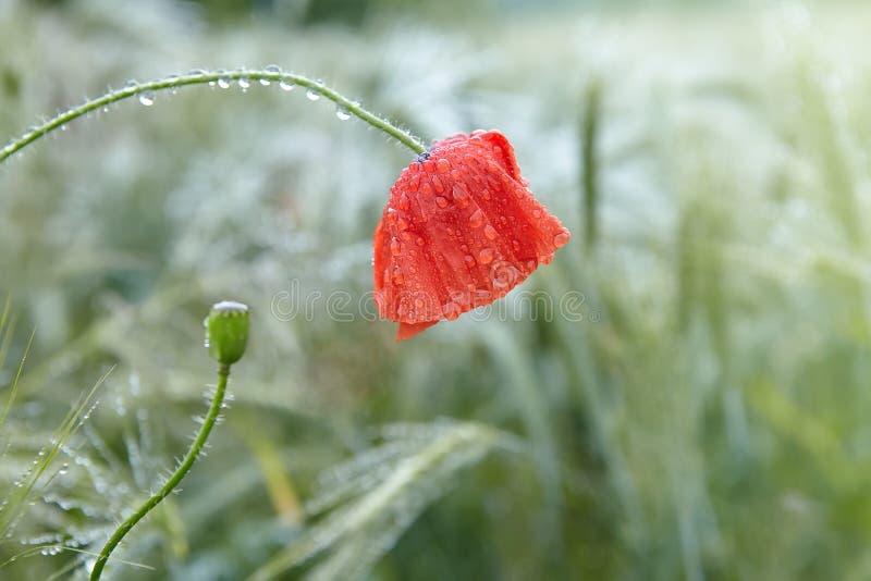 Rote Mohnblume mit Tautropfen nach dem Regen auf einem grünen Gerstengebiet stockbild
