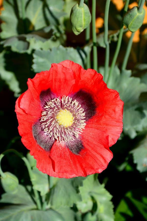 Rote Mohnblume in voller Blüte lizenzfreies stockbild