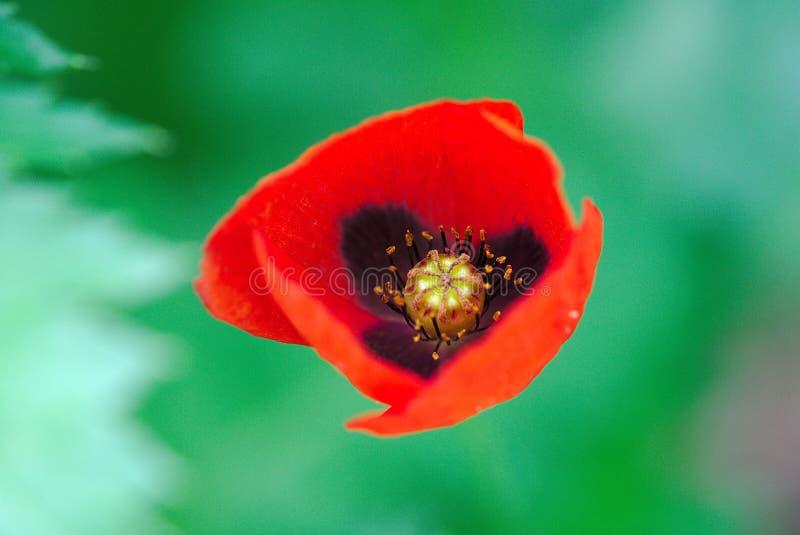 Rote Mohnblume von Wiesen lizenzfreies stockbild