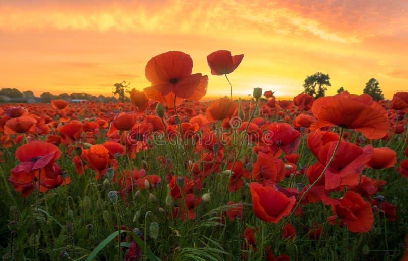 Rote Mohnblumen angesichts der untergehenden Sonne stockfotografie