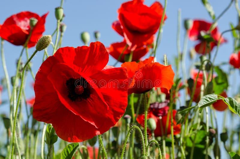 Rote Mohnblumen auf dem blauen Hintergrund lizenzfreie stockfotos