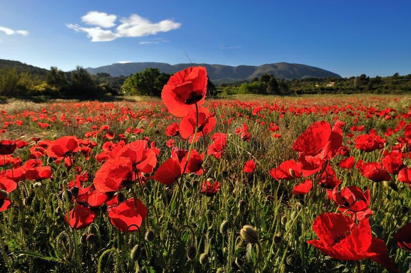 Rote Mohnblumen auf einem Feld lizenzfreie stockfotografie