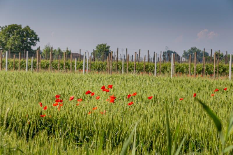 Rote Mohnblumen auf einem Weizen-Gebiet lizenzfreie stockbilder