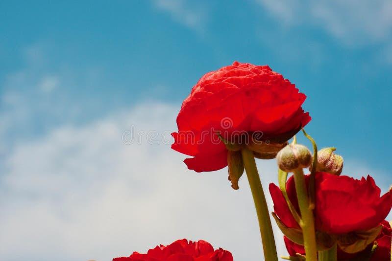 Rote Mohnblumen Blumen im Innenraum Der Hauptdekor des Hauses handmade Floristics lizenzfreie stockfotos