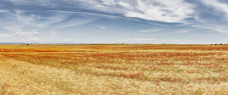 Rote Mohnblumen, in cornfiled mit blauem Himmel lizenzfreies stockfoto
