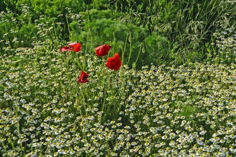 Rote Mohnblumen in der Kamille lizenzfreie stockfotografie