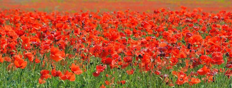 Rote Mohnblumen, die auf dem Gebiet blühen lizenzfreie stockfotos