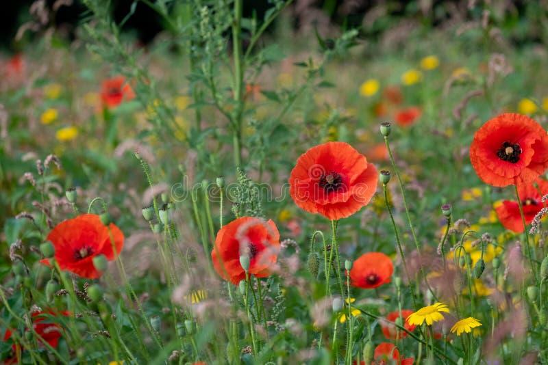 Rote Mohnblumen, die am frühen Morgen auf einem Gebiet von bunten wilden Blumen, fotografierte Sonne in Gunnersbury, West-London  lizenzfreie stockfotos