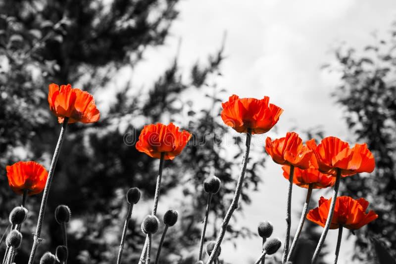Rote Mohnblumen Einfarbiges Bild stockfotografie