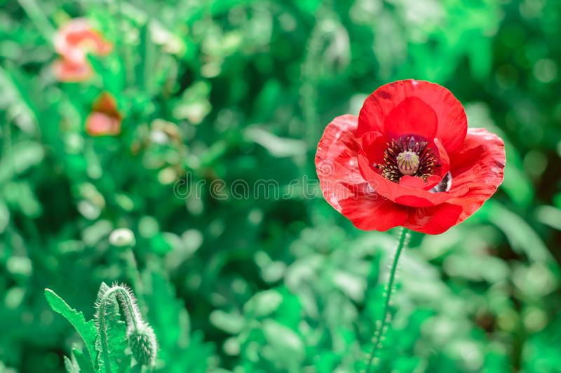 Rote Mohnblumen im Garten lizenzfreie stockfotos