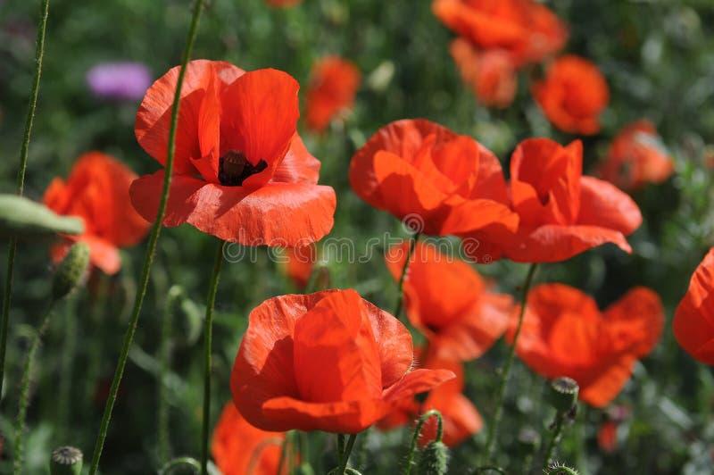 Rote Mohnblumen im Gras stockfotos