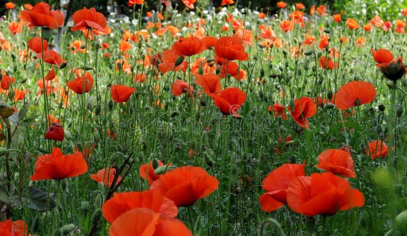 Rote Mohnblumen im Gras lizenzfreie stockfotos