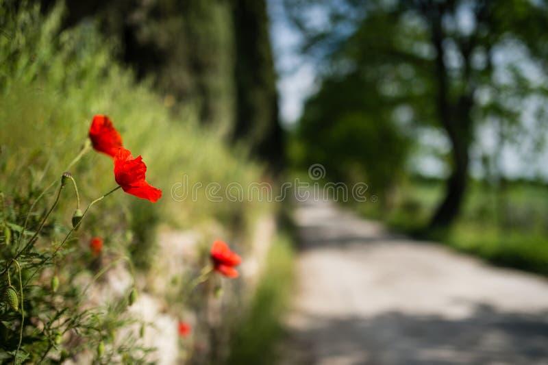 Rote Mohnblumen mit toskanischer Straße zeichneten mit Bäumen im Hintergrund stockbilder