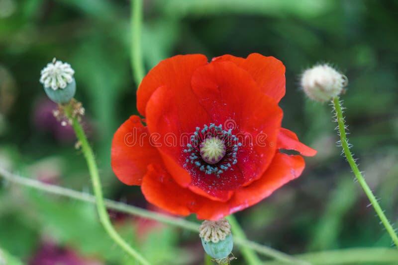 Download Rote Mohnblumen Am Sonnigen Tag Des Feldes Stockbild - Bild von zerbrechlichkeit, sommer: 96930269