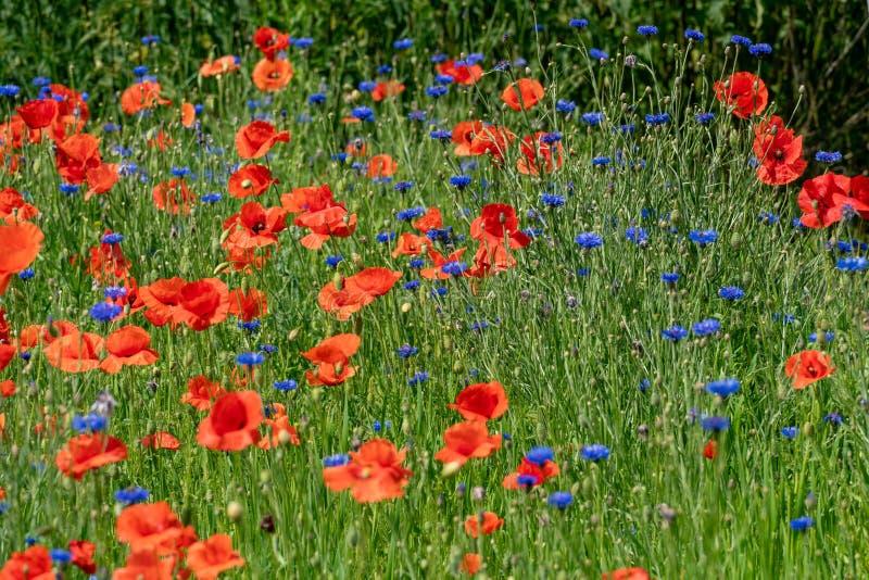 Rote Mohnblumen und blaue Kornblumen lizenzfreies stockbild