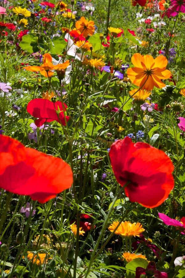 Rote Mohnblumen und Gänseblümchen auf dem Gebiet von wilden Blumen lizenzfreie stockbilder
