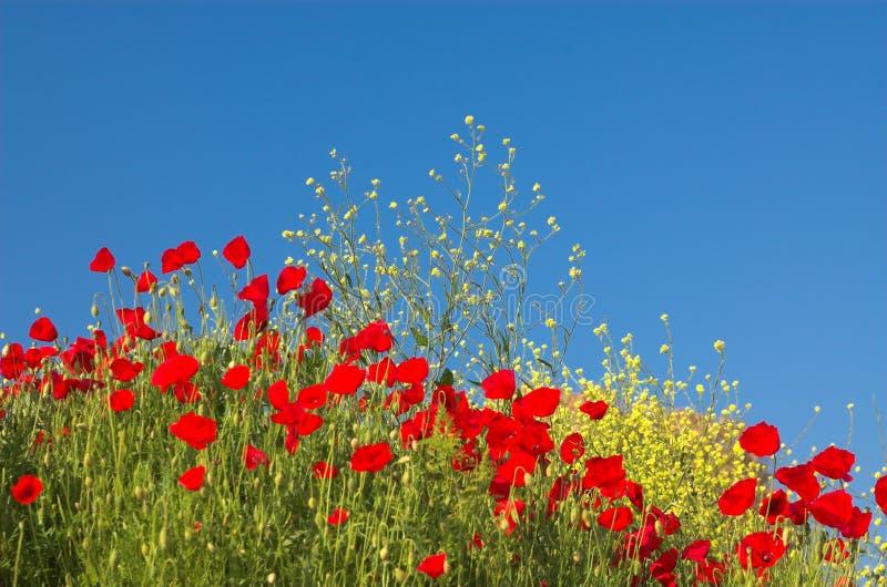 Rote Mohnblumen und gelbe Blumen stockbilder