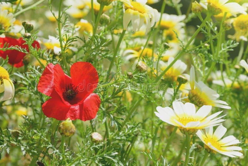 Rote Mohnblumen und weiße wilde Gänseblümchen auf dem Feld, unter grünem Gras Sonniger Tag des Sommers wildflowers stockbild