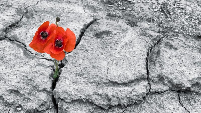 Rote Mohnblumenblüte auf einem getrockneten Gebiet Papaver rhoeas lizenzfreie stockbilder