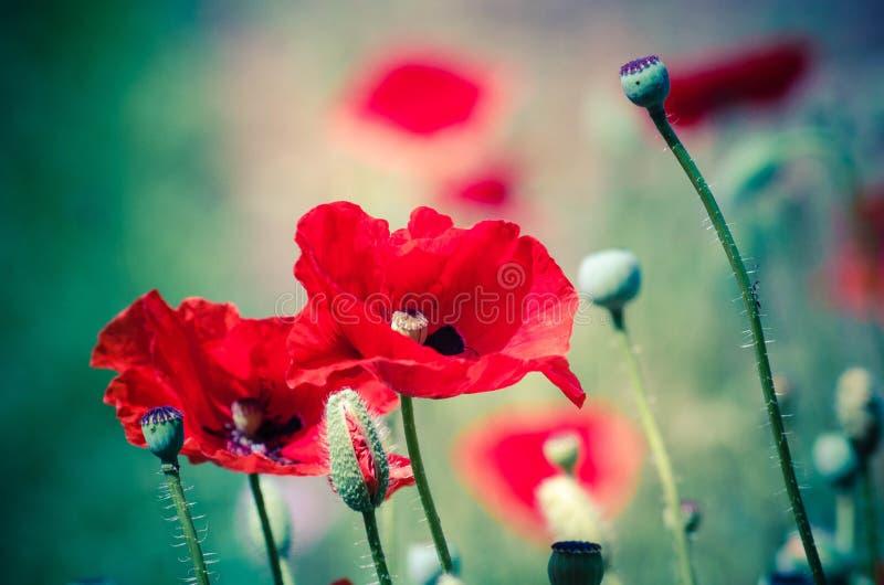 Rote Mohnblumenblüte der Blumen auf wildem Feld lizenzfreies stockbild