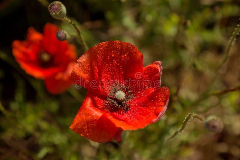 Rote Mohnblumenblüte der Blumen auf wildem Feld Schönes Feld rotes p lizenzfreie stockfotos