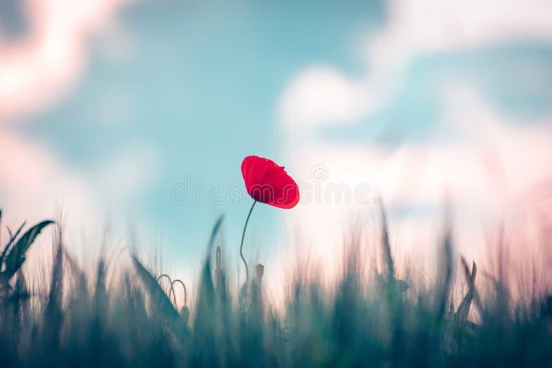 Rote Mohnblumenblume auf dem Gebiet lizenzfreies stockbild