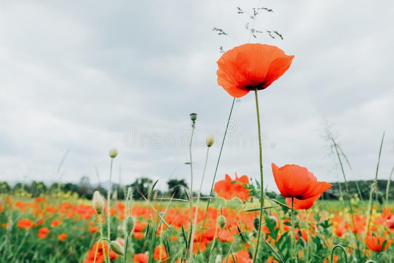Rote Mohnblumenblume in der Blüte, Sommerfeld, bewölkter Himmel stockbild