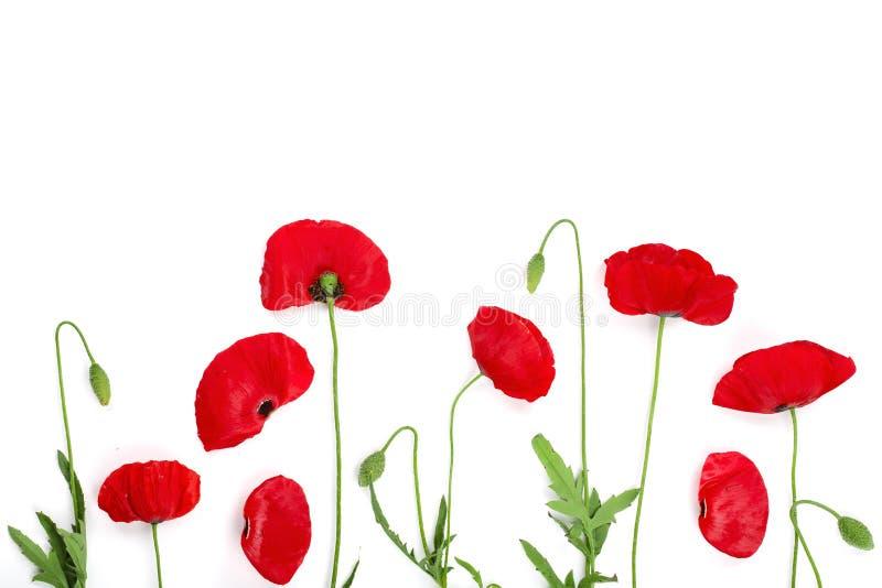 Rote Mohnblumenblume lokalisiert auf weißem Hintergrund mit Kopienraum für Ihren Text lizenzfreies stockbild