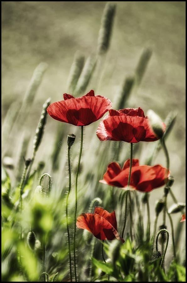 Rote Mohnblumenblume mit bokehlicius Hintergrund stockfotos