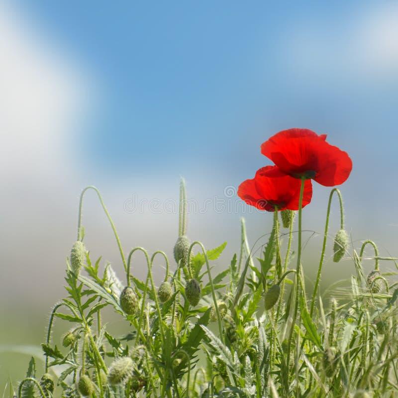 Rote Mohnblumenblume lizenzfreies stockfoto