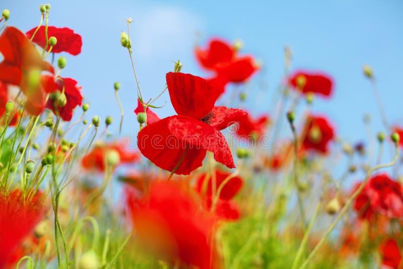 Rote Mohnblumenblumen blühen auf grünen Blättern und unscharfer Hintergrundnahaufnahme des blauen Himmels, schönes Mohnblumenfeld stockbild
