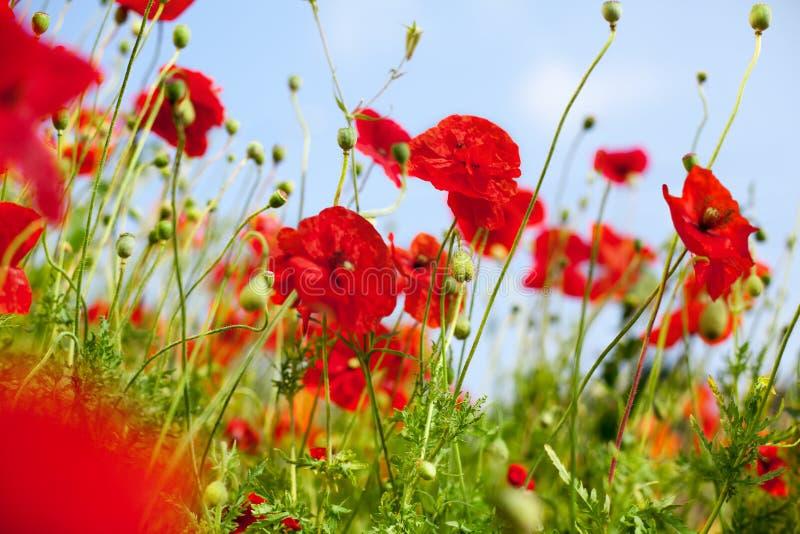 Rote Mohnblumenblumen in der Blüte auf unscharfer Hintergrundnahaufnahme des grünen Grases und des blauen Himmels, schöne Mohnblu stockbild
