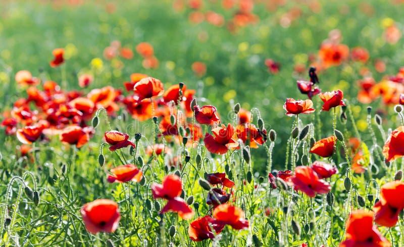 Rote Mohnblumenfelder stockbild