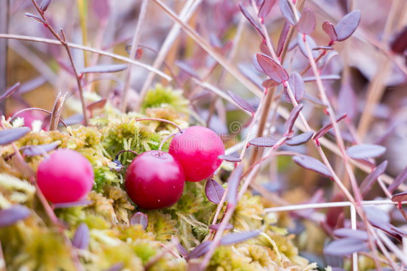 Rote Moosbeeren an einem Sumpf in Finnland lizenzfreies stockbild