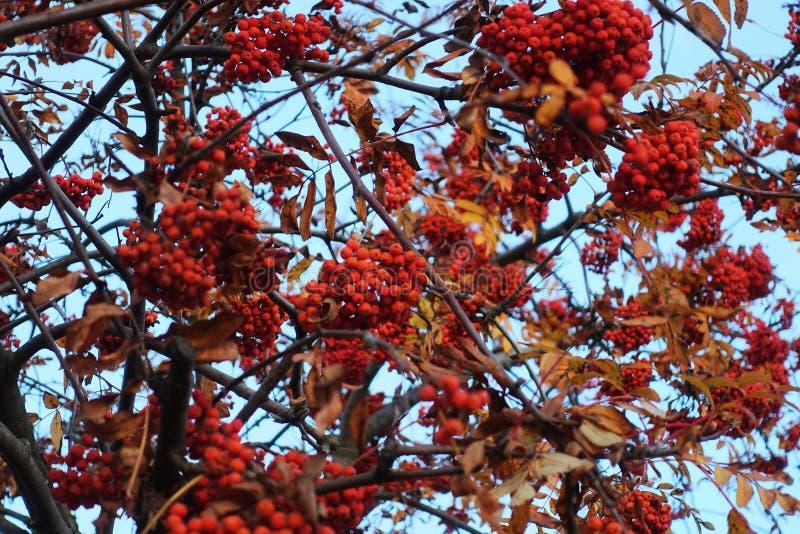 Rote Nahaufnahme der Eberesche stockfotos