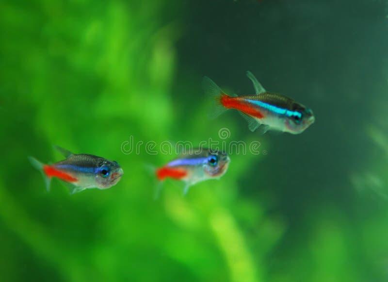 Rote Neonfische lizenzfreie stockfotos