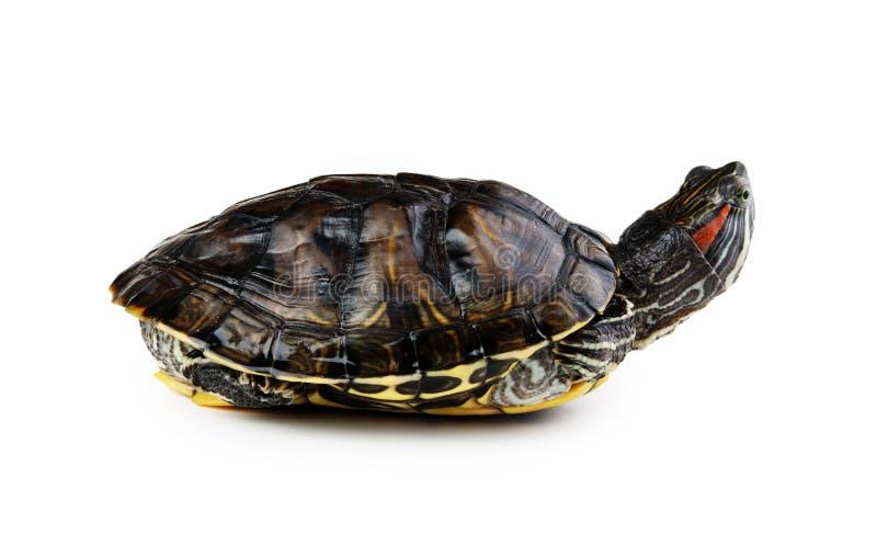 rote Ohrschildkröte lokalisierte stockfotografie