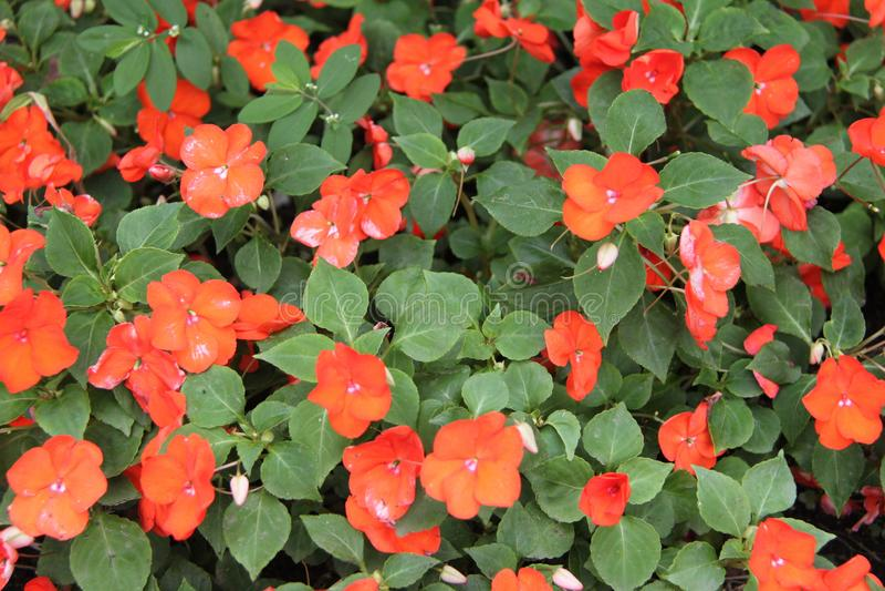 Rote orange Blumen Impatiens Balsamina lizenzfreie stockfotografie