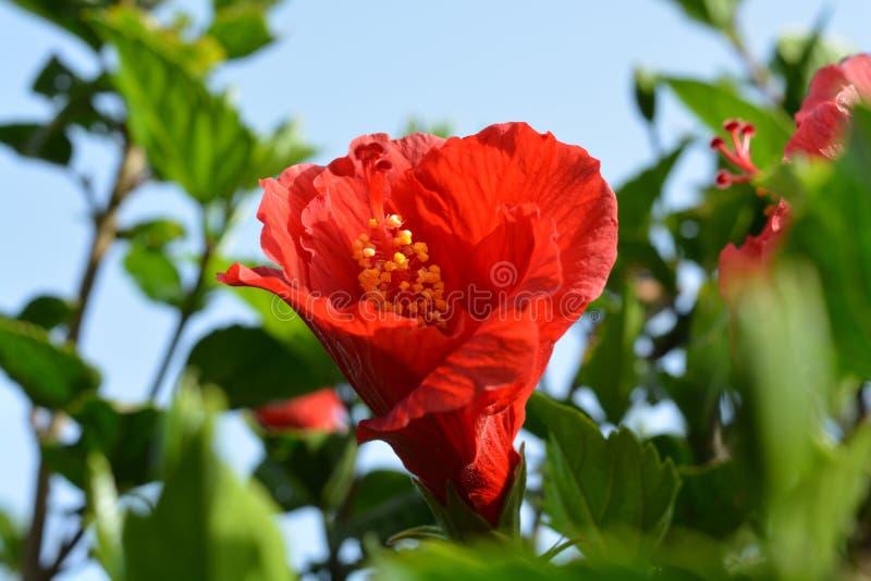 Rote orange Hibiscusblumen lizenzfreies stockbild