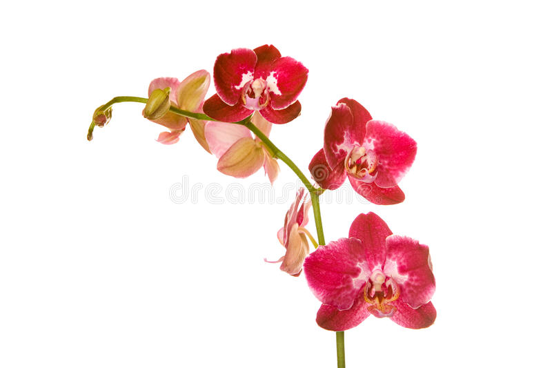 Rote Orchidee stockfotos