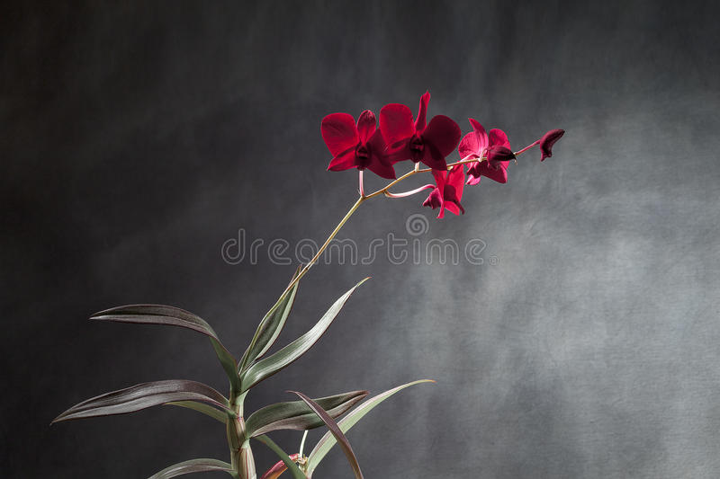 Rote Orchidee stockfotografie