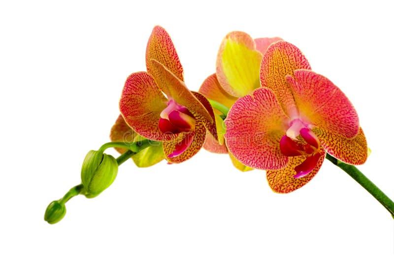 Rote Orchidee lizenzfreies stockbild