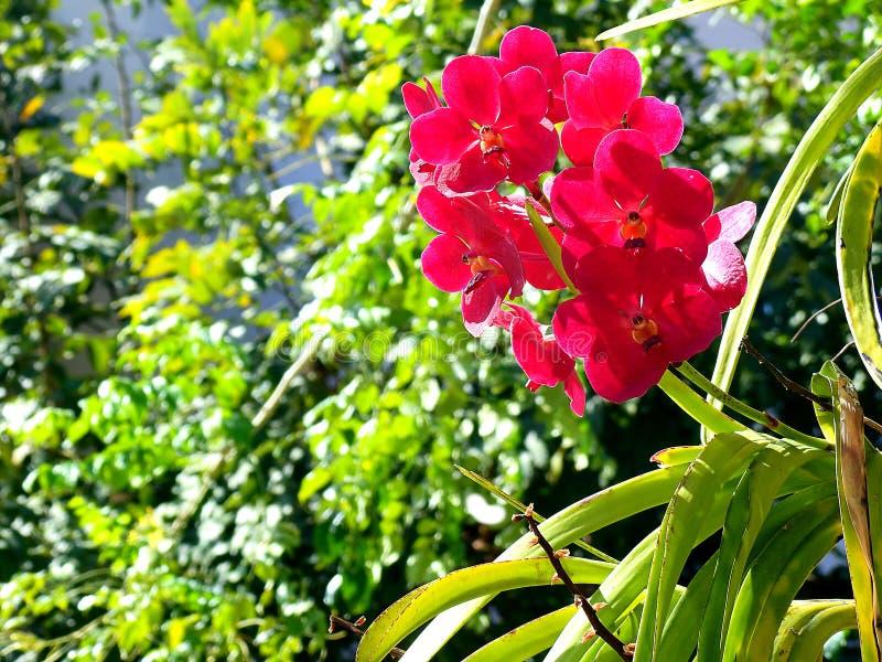 Rote Orchidee im Garten lizenzfreies stockfoto